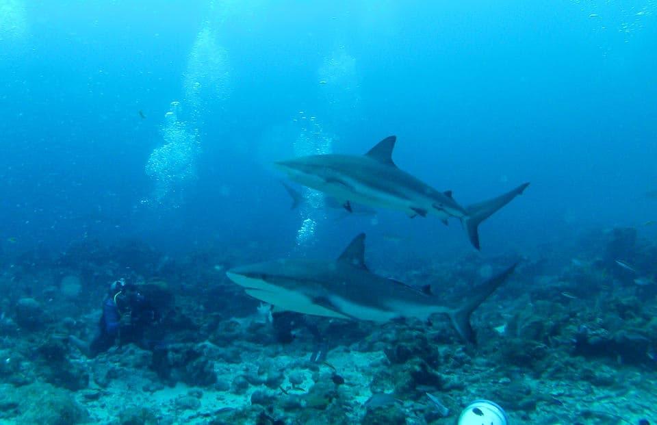 Dive with Sharks in Roatán, Honduras ~ Sunny Coastlines Travel Blog