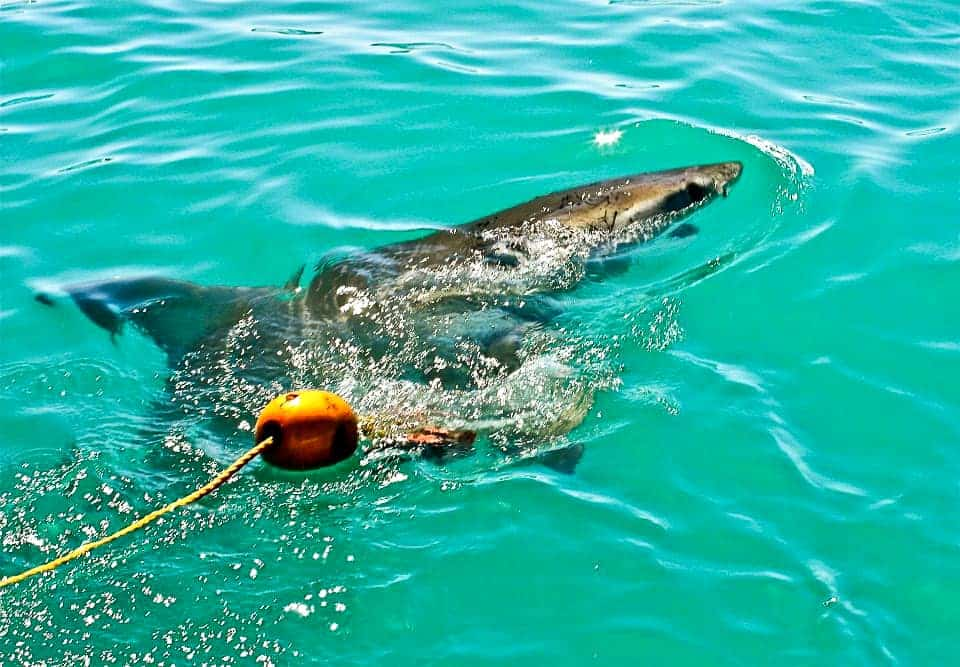 Dive with Great Whites in South Africa - Sunny Coastlines Travel Blog
