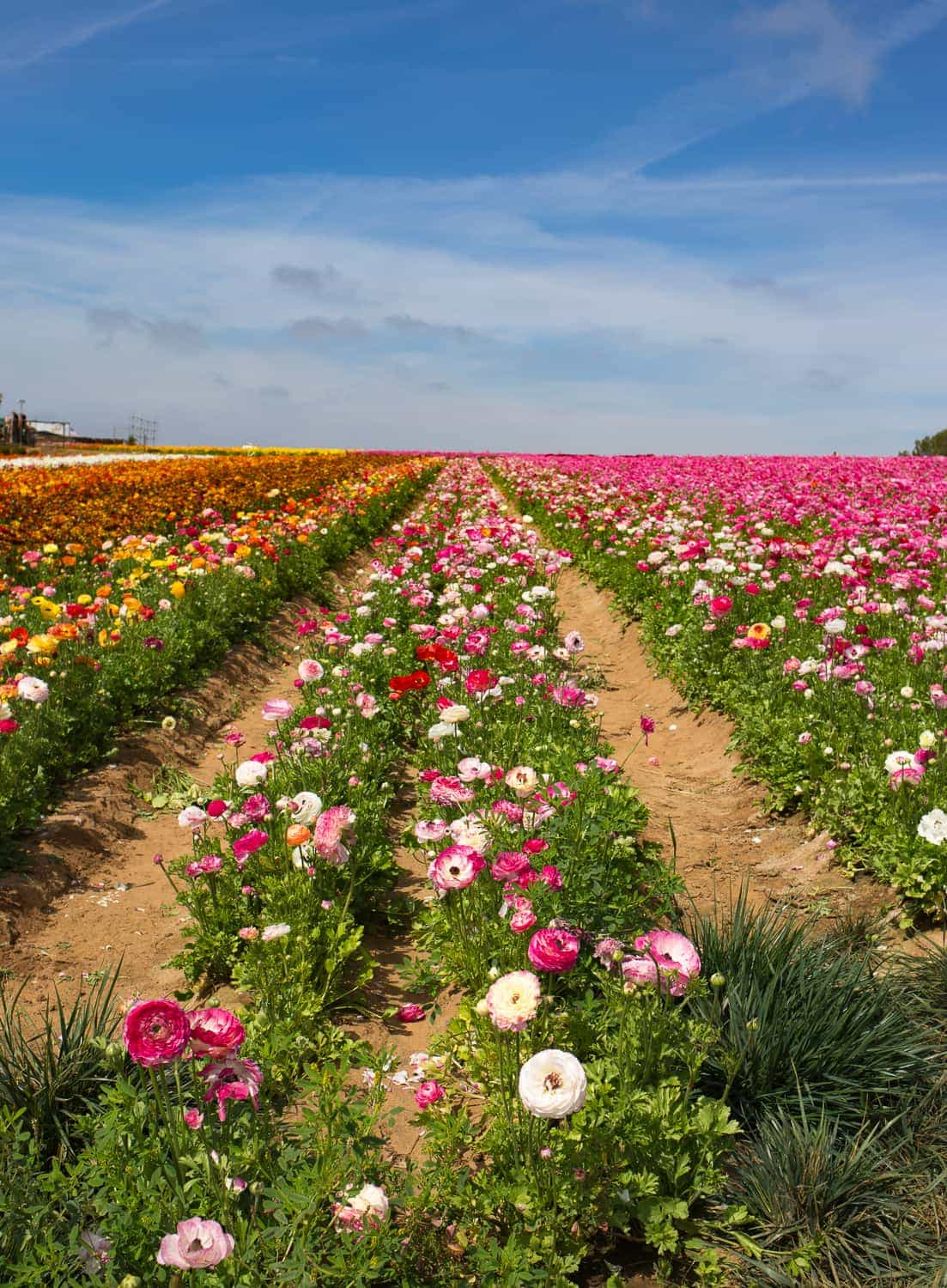 The Flower Fields ~ Sunny Coastlines Travel Blog