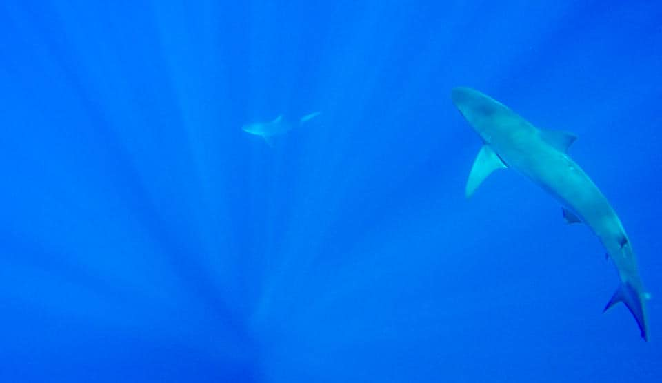 Free Diving With Sharks Off the North Shore ~ Sunny Coastlines Travel Blog
