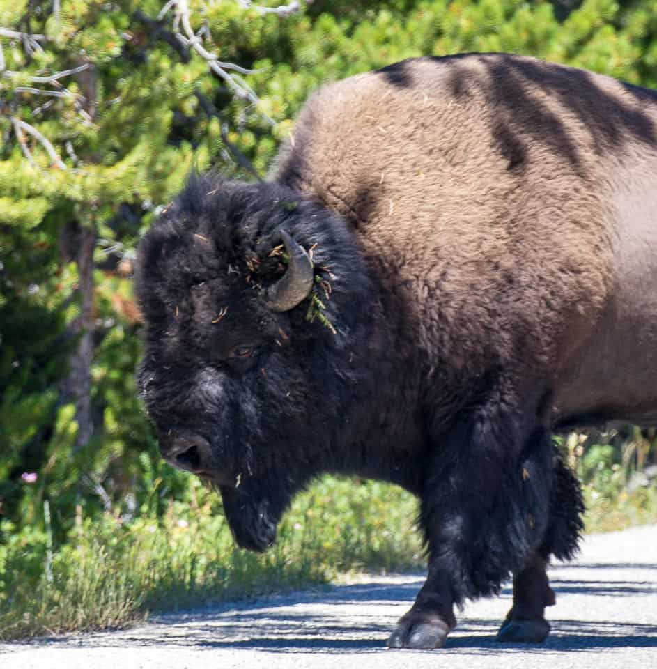 Yellowstone National Park, and its Wildlife ~ Sunny Coastlines Travels