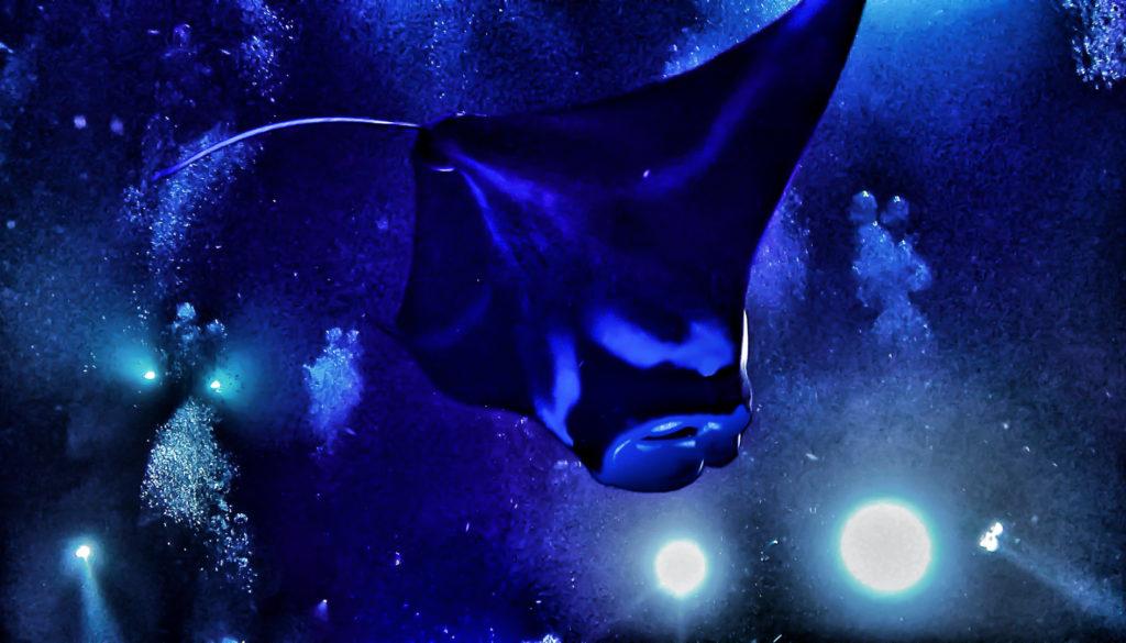 Manta Ray Night Dive Off the Kona Coast ~ Sunny Coastlines