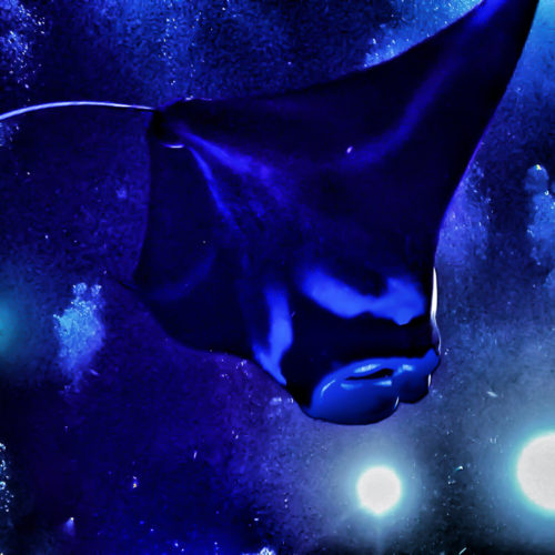 Manta Ray Night Dive Off the Kona Coast ~ Sunny Coastlines
