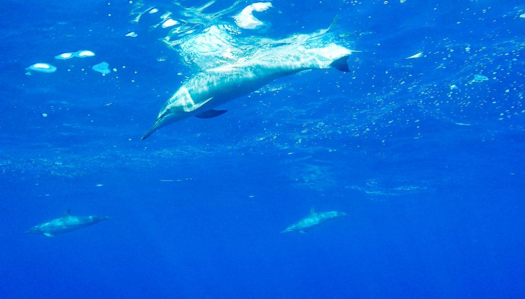 Swim with Wild Dolphins off Hawaii's Big Island, Along the Kona Coast ~ Sunny Coastlines travel blog