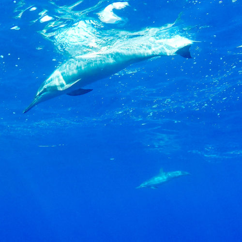 Swim with Wild Dolphins off Hawaii's Big Island, Along the Kona Coast ~ Sunny Coastlines travel blog
