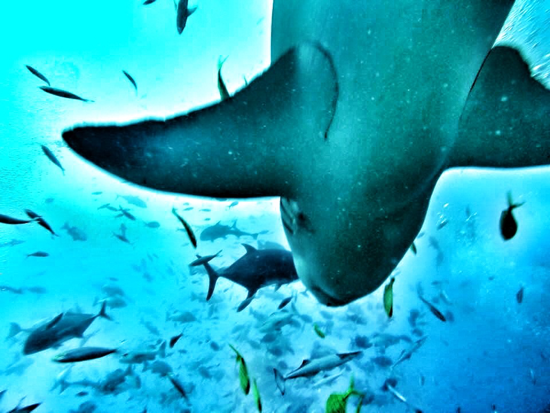 Diving With Bull Sharks, And Why We Need to Save the Sharks
