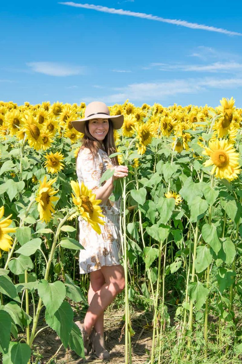Sunflowers at Colby Farms